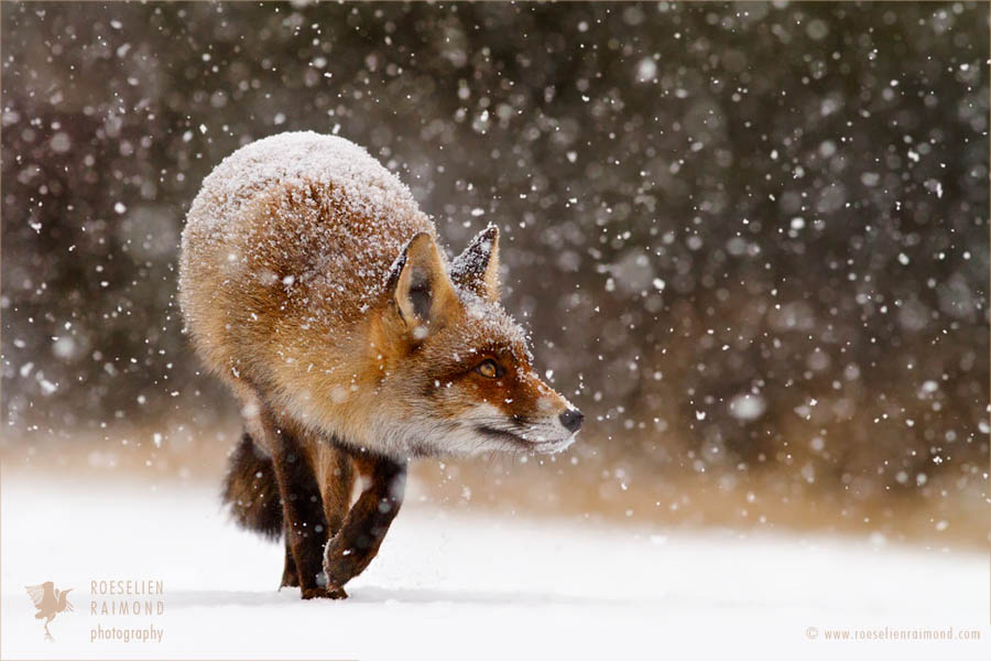 RED FOXES IN THE SNOW