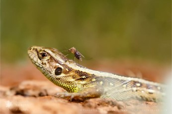 wildlife sand lizard (Lacerta agilis)