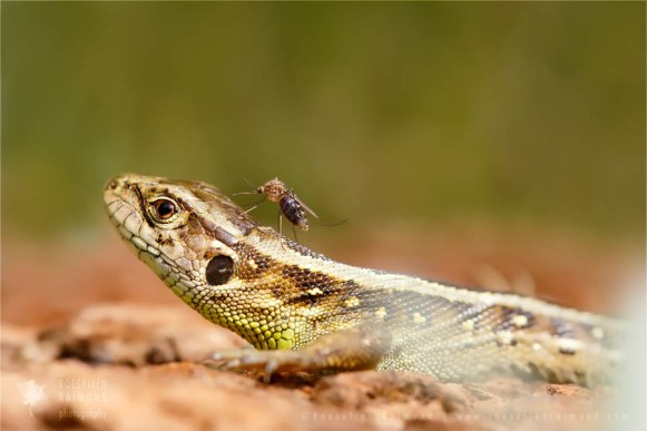 wildlife sand lizard (Lacerta agilis)