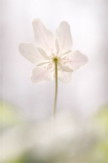 wood anemone Flower photography windflower thimbleweed smell fox Anemone nemorosa Bosanemoon