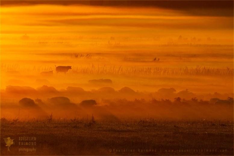 sheep mist fog scenery landscape Netherlands mood atmosphere sunrise mist