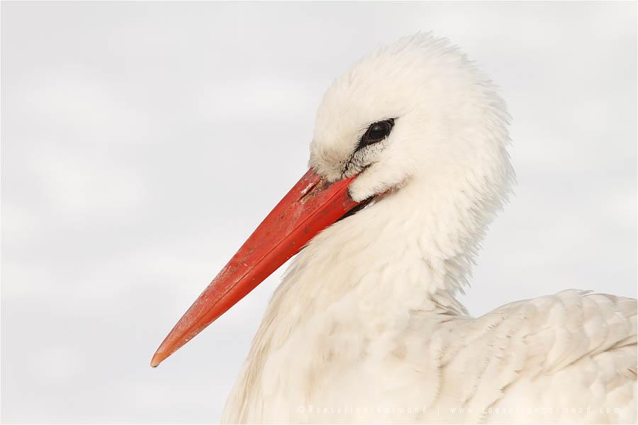 White Stork Ciconia ciconia snow cold winter white bird photography