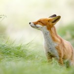 Zen foxes: The zennest of all red foxes