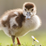 gosling duckling baby duck goose