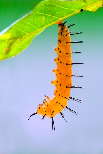 Unknown Caterpillar