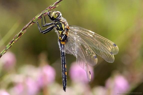 Golden-ringed dragonfly Cordulegaster boltonii Gewone bronlibel