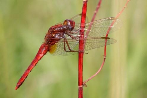 Scarlet dragonfly (Crocothemis erythraea) Vuurlibel