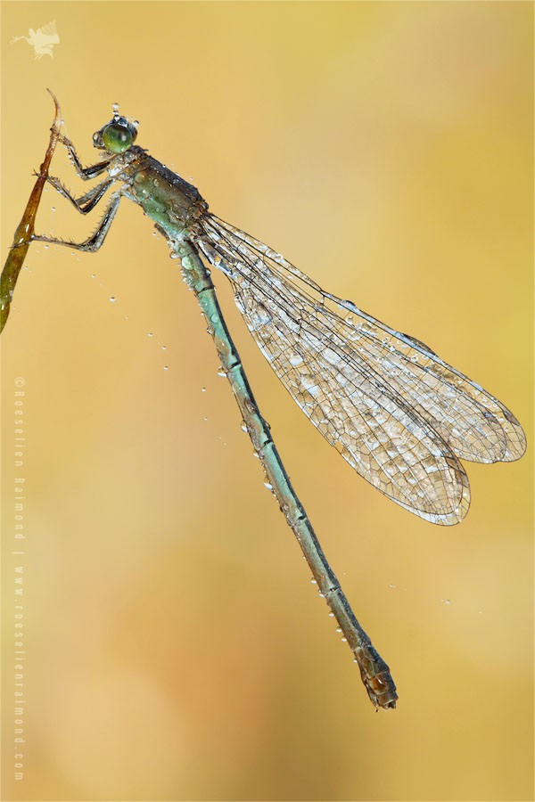 rare zeldzaam dew sunrise damselfly Scarce blue-tailed damselfly or small bluetail Ischnura pumilio Tengere grasjuffer