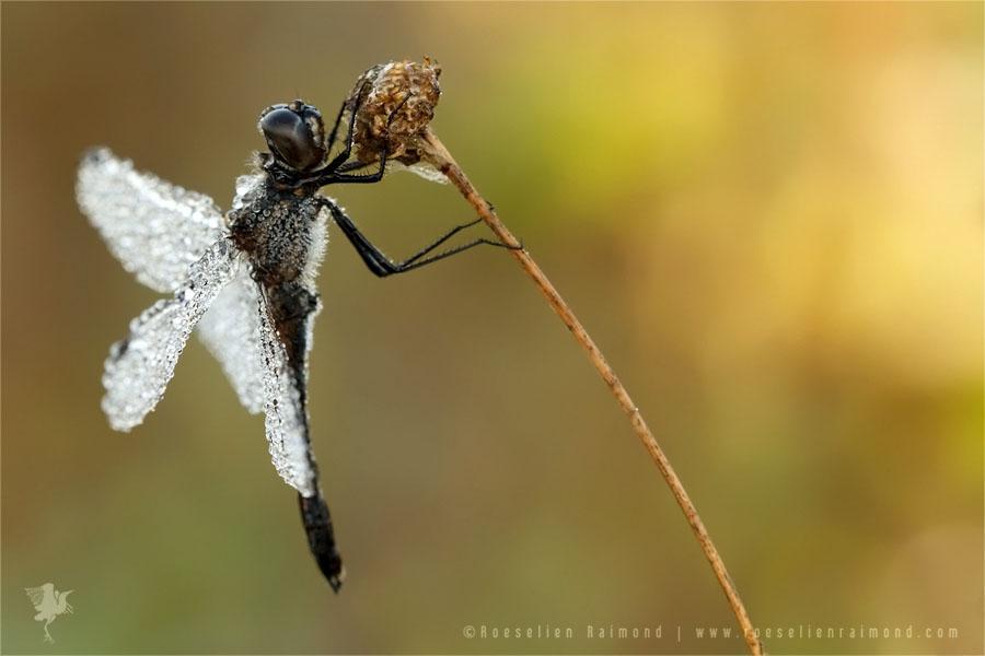 Dew sunrise black darter / black meadowhawk (Sympetrum danae Zwarte heidelibel