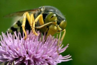 Portrait of a Bembix rostrata Sand Wasp - Harkwesp (Bembix rostrata)