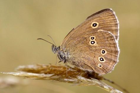 Ringlet (Aphantopus hyperantus) Koevinkje