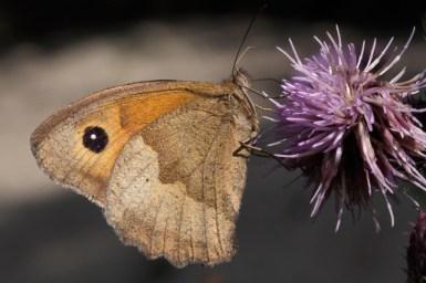 Meadow brown Maniola jurtina Bruin zandoogje