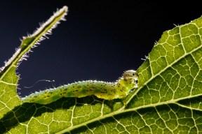 Unknown Sawfly larva (Tenthredinidae sp.) Onbekende bladwesplarve