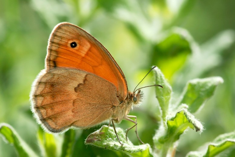 Meadow brown Maniola jurtina Bruin zandoogje