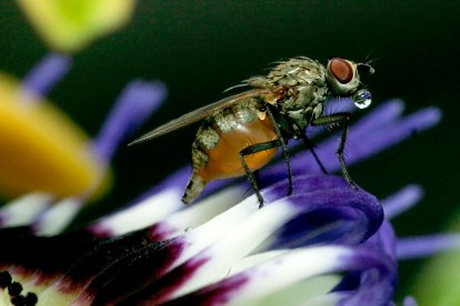 Unknown fly