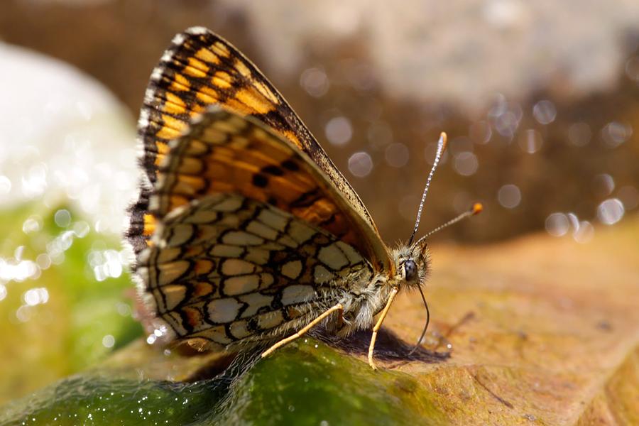 Fritillary Melitaea sp.parelmoervlinder