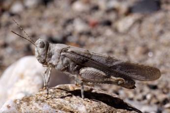 Blue-winged grasshopper Oedipoda caerulescens Blauwvleugelsprinkhaan