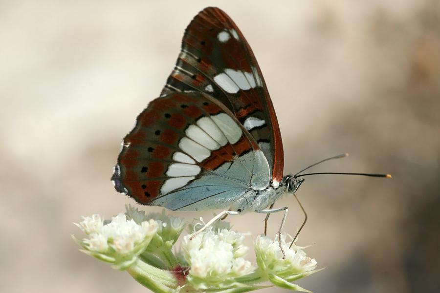 The (Eurasian) White Admiral (Limenitis camilla Kleine ijsvogelvlinder