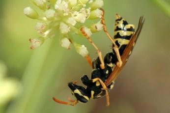Field digger wasp Mellinus arvensis Gewone vliegendoder