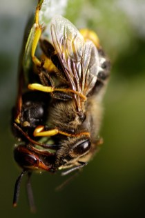 European beewolf bee-eating philanthus (Philanthus triangulum Bijenwolf