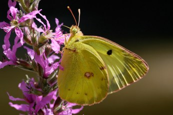 Clouded yellow Colias unknown Luzernevlinder