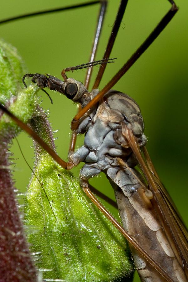 Unknown Crane Fly Tipulidae sp. Onbekende langpootmug