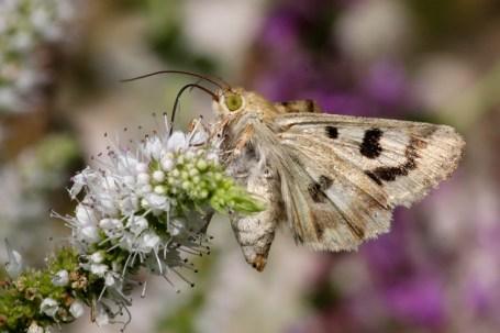 Unknown owlet moth (Noctuidae Sp.) -Onbekend uiltje