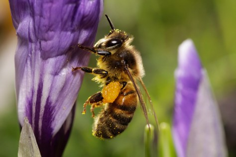 European honey bee Apis mellifera Honingbij