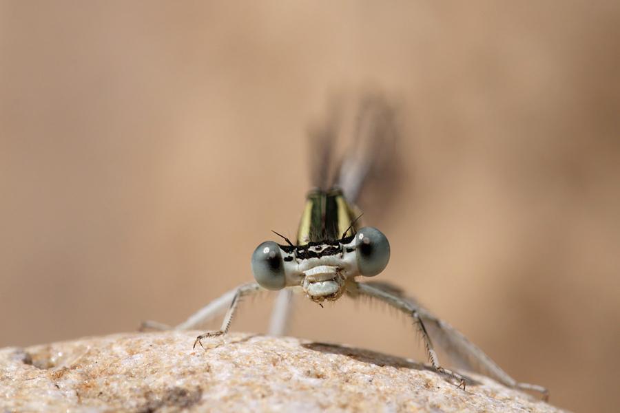 White-legged damselfly / blue featherleg Platycnemis pennipes Witte breedscheenjuffer