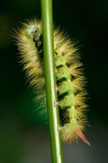 Pale Tussock Calliteara pudibunda