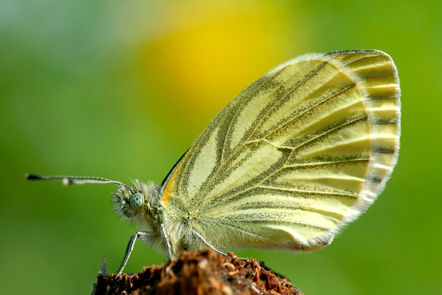 Green-veined white (Pieris napi klein geaderd witje