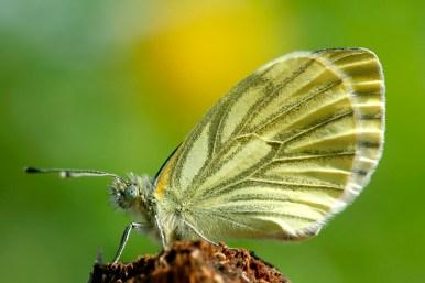 Green-veined white (Pieris napi klein geaderd witje