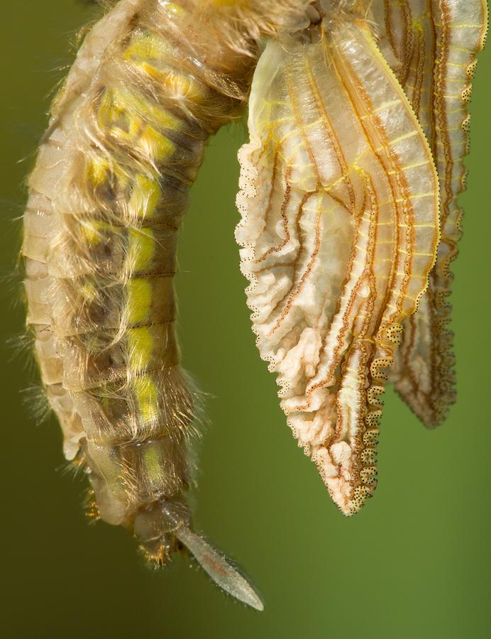 Detail emerging dragonfly