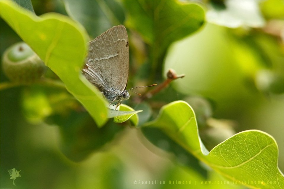 Purple hairstreak Neozephyrus quercus Eikenpage
