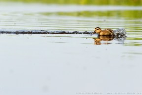 Duckling cute overload Anas platyrhynchos chasing insects