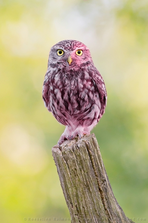 pink erythrism grasshopper insect rare little owl