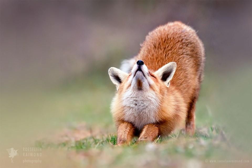 Yoga Fox