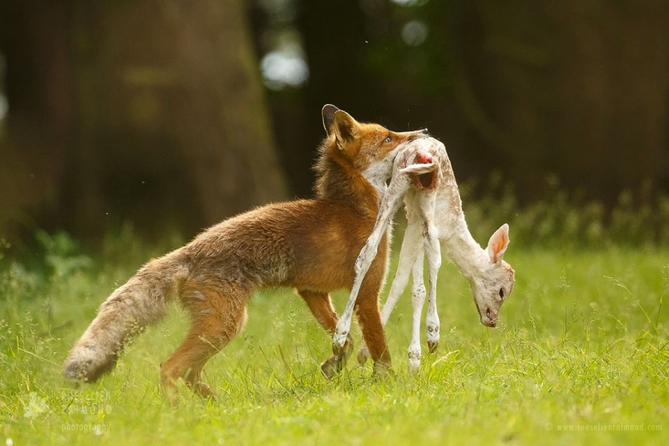Red fox with deer prey