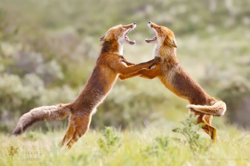 fighting foxes