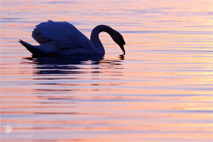 Mute swan silhouette at sunsetv