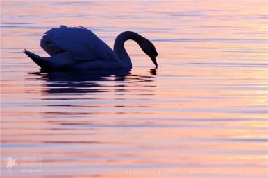 Mute swan silhouette at sunsetv