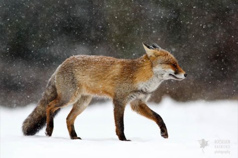 nature photography fine art fox snow