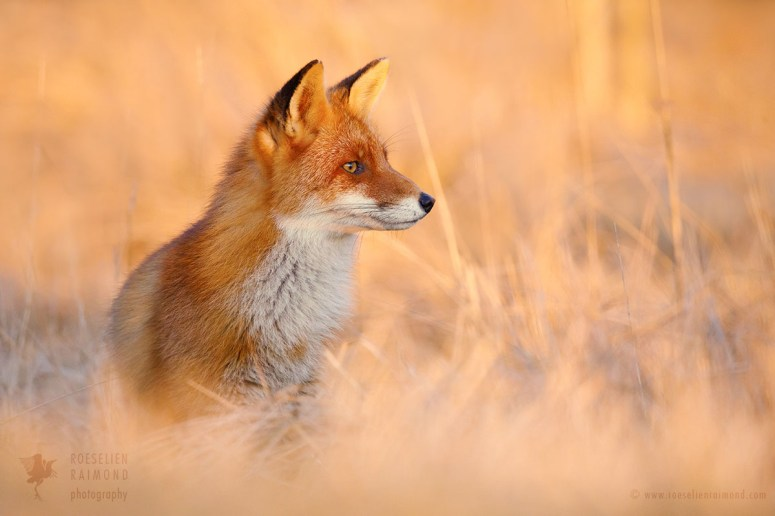 Red Fox in red Light at sunset