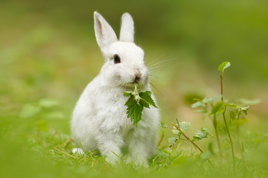 cute_white_rabbit