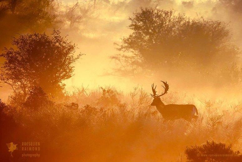 Fallow Deer Silhouette at Sunrise
