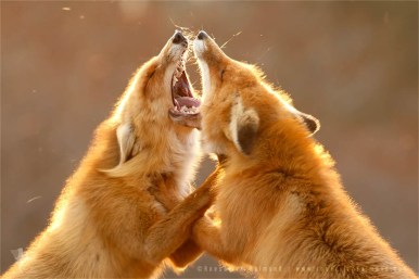 Fighting red foxes