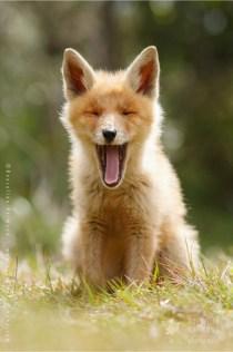 Yawning fox cub