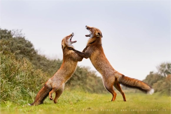 fighting red foxes, doin the foxtrot