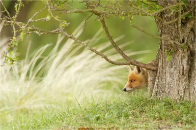 Young Fox Hiding Behind a Tree