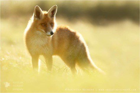 red fox in back light at sunset